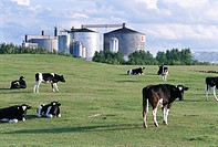 Cows in front of a factory Osterlen Skane Sweden.