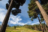 Pine forest Pinus sylvestris of Hoyocasero, declarated as Protected Landscape, and located in the Alberche Valley, near Gredos mountains  Hoyocasero, ...