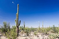 Saguaro Nationalpark Arizona USA
