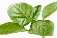 Leaf of basil Ocimum basilicum.