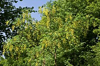 Goldregen, Laburnum