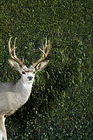 Deer in front of hedge