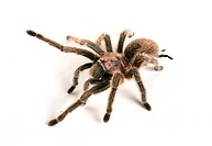 Chilean rose tarantula _ cut out / Grammostola rosea
