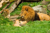 lion _ lying with two cubs / Panthera leo