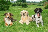 three dogs _ lying on meadow