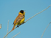 Black_headed Bunting on twig / Emberiza melanocephala