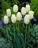 Tulipa Orleans