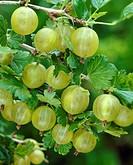 Ribes uva_crispa