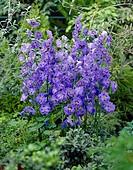 Delphinium Blue Beat