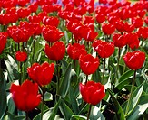 Tulipa Arma
