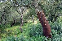 cork trees Quercus suber Los Alcornocales Natural Park, Cadiz, Andalusia, Spain
