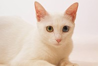 White cat with one blue eye and one green eye