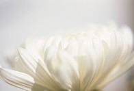 Close_up of Chrysanthemum