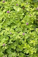 Trifolium repens Goldnet