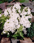 Phlox Shorty White