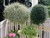 Thymus + Origanum citriodorus