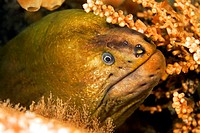 Closeup of a green moray eel face  The green color on the eel is caused by algae cells in the skin tissue