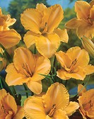 Hemerocallis Sombrero Way