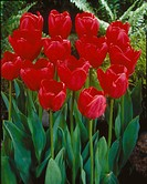 Tulipa darwinhybrid Spring Song