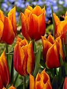 Tulipa triumph YokoÂ_s Dream