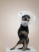 Dog in protective collar with a missing leg