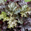 Heuchera Can Can