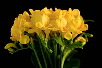 close_up of freesias