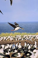 Imperial Shag or King Shag Phalacrocorax atriceps albiventer on the Falkland Islands, landing in a dense colony  Antarctica, Subantarctica, Falkland I...