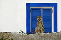Domestic Cat, Felidae, Santorini, Greece, Europe, Domestic cat, domestic cats, cat, cats, domestic animal, domestic animals, cat portrait, cat portrai...