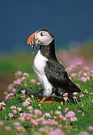 Puffin Fratercula arctica in Thrift Armeria maritima Shetland Islands Scotland