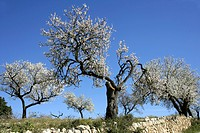 Almond Blossom Majorca Spain