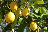 Fruit of a citrus lemon tree