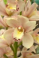Cymbidium Eastertide