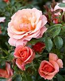 Rosa Aprikola