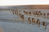 Morning departure of the salt caravans. Ahmedila. Afar region. Ethiopia.