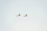 Pair of geese flying together