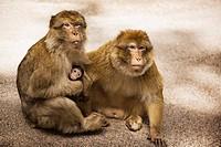 Makak Monkey Family, Morocco