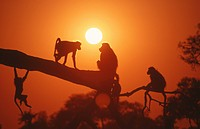 Silhouettes of Chacma Baboons, Papio ursinus playing on branch at dusk, Hwange, Matabeleland North, Zimbabwe