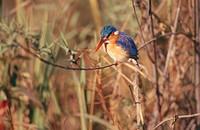 Malachite kingfisher Alcedo cristata, Zimbabwe