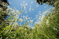 Cow Parsley (Anthriscus sylvestris) flowering profusely on forest glade
