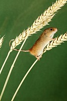 Harvest Mouse Micromys minutus - climbing using prehensile tail, between wheat stalks