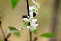Surinam cherry blossom Eugenia uniflora, also known as Pitanga