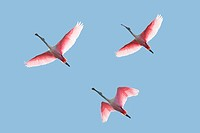 Roseate Spoonbills In Flight