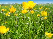 Field of yellow buttercup flowers