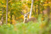 Deer in woods in fall, Mont Tremblant, Quebec