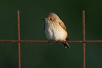Spotted Flycatcher Muscicapa striata