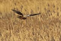 Marsh Harrier Circus aeruginosus