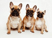 French Bulldogs, Stockholm, Sweden
