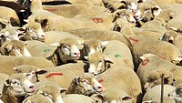 Stoves, Ranges, sheep, stoves, ranges, group, wool, meat, lamb, food, animals, beasts, woolly, agriculture, cattle breeding