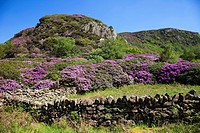 Wales, Gwynedd, Snowdonia National Park, Rhododendrons in Bloom and Mountains
